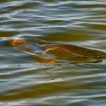 cruising redfish