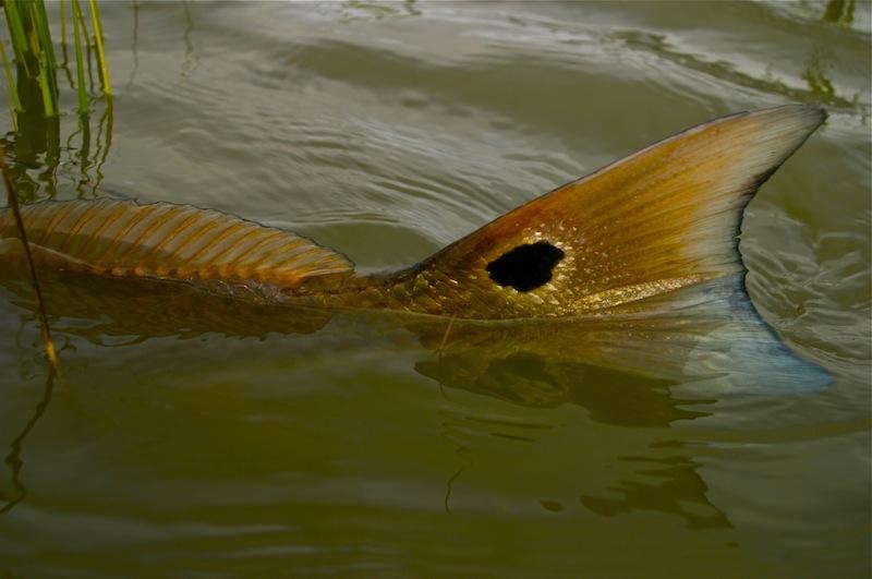 mosquito lagoon redfish john kumiski