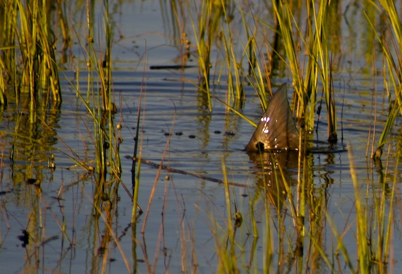 Red drum tailing