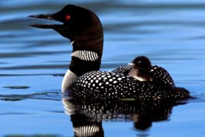 Loon with chick.