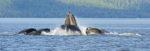 feeding whales